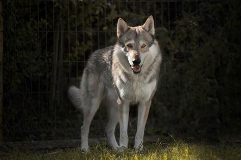 Tamaskan Dog Breed : Complete Guide To Know | Pets Nurturing