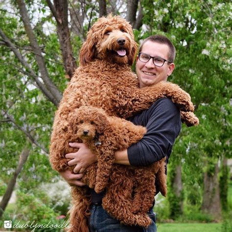 Standard and Mini goldendoodle