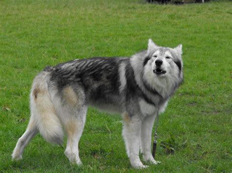The 10 True Hybrid and Cross Breed dogs | HubPages