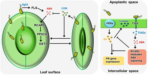 IJMS   Free Full-Text   Function of ABA in Stomatal